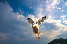 Free Seagull Flying Stock Photo - 14250290