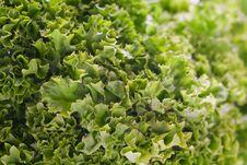 Free Green Lettuce Stock Photos - 14250323