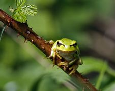 Free Green Tree Frog Stock Photos - 14250363