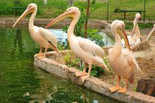 Line Of Pelicans Stock Photos