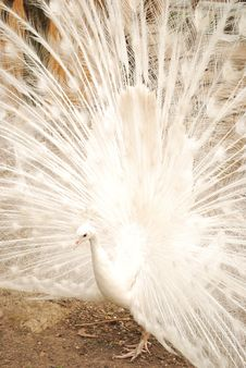 Free White Peacock Royalty Free Stock Image - 14250556