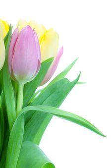 Free Beautiful Tulip Bouqet Stock Photos - 14250823