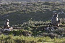 Free Baboons Looking At Tourists On Cape Of Good Hope Stock Photography - 14251032