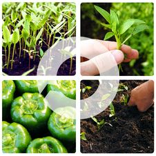 Process Of Growing Vegetables Royalty Free Stock Photography