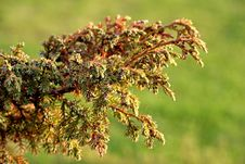 Thuja Stock Images