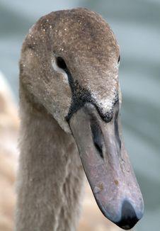 Free Swan Stock Photo - 14251990