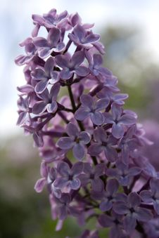 Free The Lilac Stock Photos - 14252533