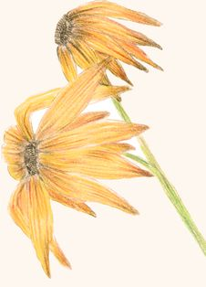 Free Black-eyed-susan Stock Photos - 14253203