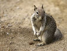 Free Squirrel Royalty Free Stock Photography - 14253297