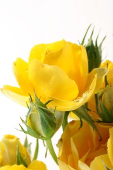 Free Yellow Roses Royalty Free Stock Photos - 14254248