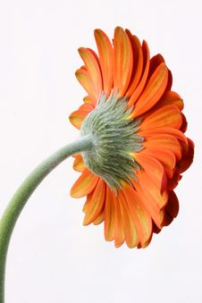 Free Red Gerber Daisy On The White Stock Images - 14254394