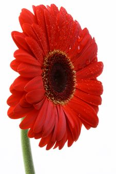 Free Red And Wet Gerber Daisy On White Stock Photos - 14254403