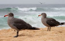 Free Two Young Seaguls At The Beach Stock Photo - 14254540