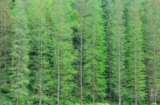 Free Vertical Line Formed By Trees Royalty Free Stock Photos - 14254698