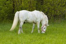 Free White Horse Royalty Free Stock Photography - 14255427
