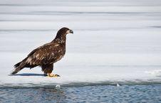 Free Juvenile Eagle Stock Photo - 14255440