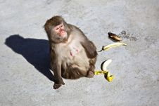 Free Monkey Looking For Distance Royalty Free Stock Photography - 14255497