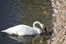 Free Swan In A Lake Stock Photography - 14255502