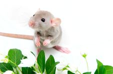 Free Rat Royalty Free Stock Photography - 14255637