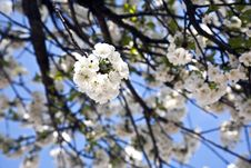 Free Close-up Branch Of Bloom In Spring Royalty Free Stock Photo - 14256155