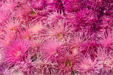 Free Dahlia Royalty Free Stock Photography - 14257097