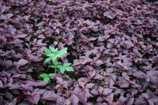 Free Green And Violet Royalty Free Stock Photos - 14257368