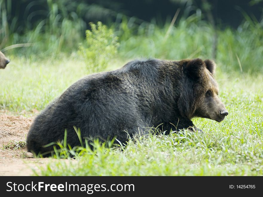 A black bear in garden