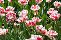 Free Beautiful Field Of Fresh Red White Tulips Blooming Royalty Free Stock Photos - 14267608