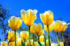 Free Bright Yellow-white Tulips Royalty Free Stock Photography - 14261037