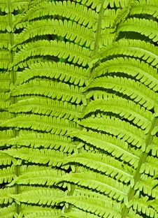 Free Green Fern Leaves Stock Photography - 14261052