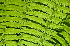 Free Beautiful Background Of Green Fern Leaves Royalty Free Stock Photography - 14261197