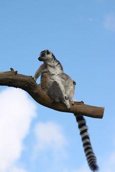 Free Lemur Catta Sitting On A Tree Branch Stock Photo - 14261840