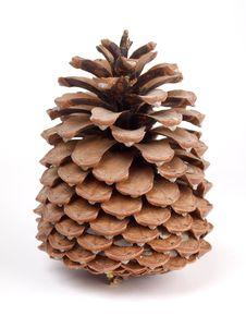 Free Cedar Cones Royalty Free Stock Images - 14262159