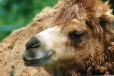 Free Camel Royalty Free Stock Photo - 14262595