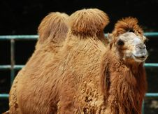 Free Camel Royalty Free Stock Photos - 14262608