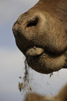 Free Cow Nose Stock Photography - 14262852