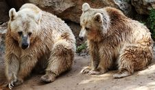 Free Grizzly Bears Stock Photography - 14262912