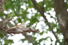 Free Iguana Stock Images - 14262984
