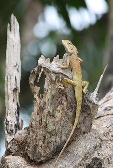 Free Iguana Stock Image - 14263041