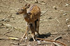 Deer Feeding Its Fawn Royalty Free Stock Photography