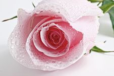 Free Pink Wet Rosebud Stock Photography - 14264302