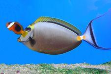 Free Pauda Tang And Clown Fish Stock Images - 14264554
