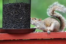 Free Squirrel Royalty Free Stock Image - 14265206