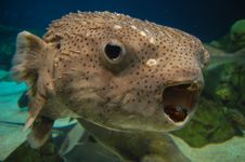 Free Fish With Open Mouth Stock Photo - 14265290