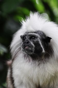 Free Confused Little Cotton Head Tamarin Monkey Stock Photo - 14265560