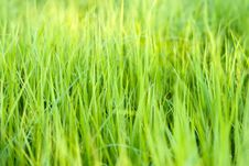 Free Green Grass Royalty Free Stock Photography - 14265617