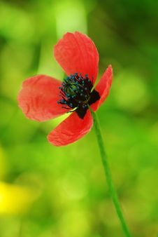 Free Young Poppy Royalty Free Stock Photos - 14266058