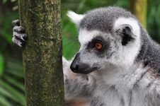 Lemur Staring While Holding Tree Trunk Stock Images