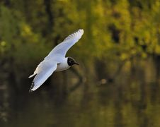 Free Black-headed Gull Royalty Free Stock Photography - 14266767