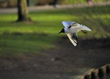 Free Black-headed Gull Stock Image - 14266941